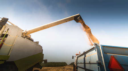 Combine harvester pours wheat seeds in trailer.