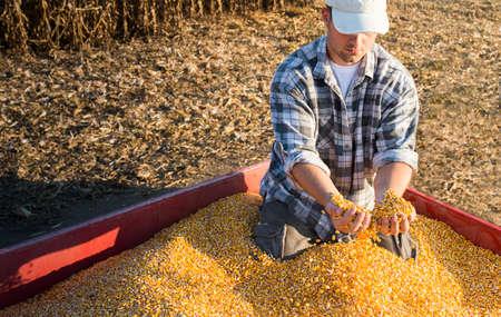 Young farmer holding ripe corns during harvest Standard-Bild