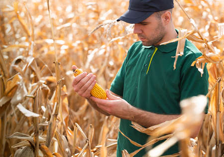 Farmer inspecting maize corncob on the field with hands
