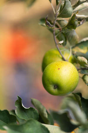 Close up of a green apple in a tree during autumn Stok Fotoğraf