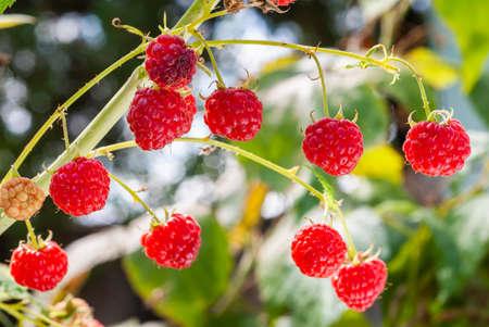Macro image of fresh ripe raspberries. Stok Fotoğraf - 158796948