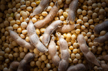 Ripe yellow soybeans with open pods macro shot, Soya beans with.