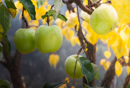 green apples on a branch in an orchard. Stok Fotoğraf