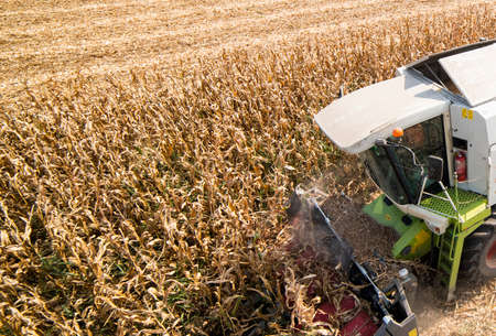 Combine Operator Harvesting Corn on the Field in Sunny Day. Stok Fotoğraf - 159143189