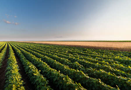 field of soybeans and wheat before sunset