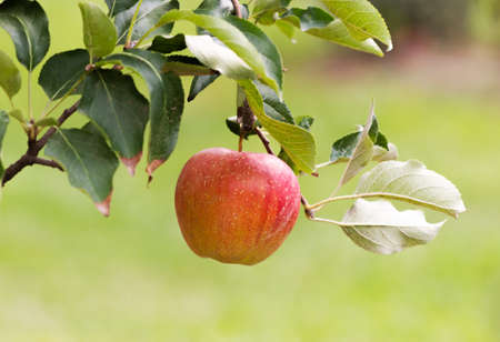Close up of a red apple in a tree during autumn Stok Fotoğraf