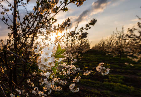 Cherry blossom fruit orchard in spring