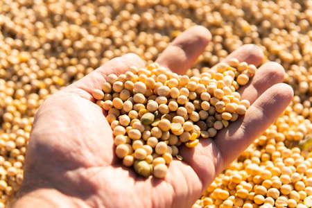 Soya bean seed in hands of farmer. Human, finger. Stok Fotoğraf