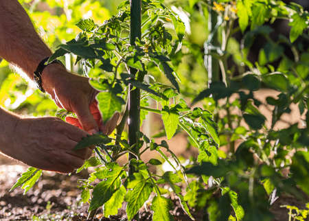 Man s hands tying up branches of plants.Farmers planted tomatoes in garden