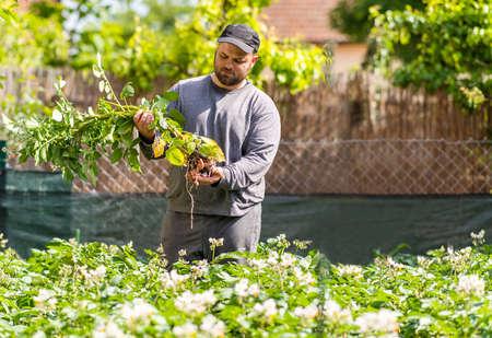 farmer harvesting young potatoes in vegetable garden Stok Fotoğraf