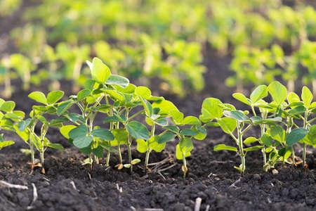 Open soybean field at sunset.Soybean field .