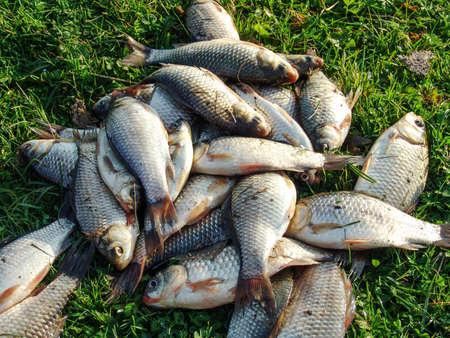 fish tank: Caught crucians lie on the green grass