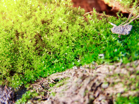 Juicy green moss on the surface of a tree on a sunny day closeup