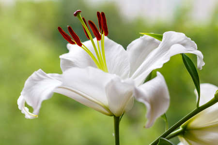 Flowers of a white garden lily closeup Stock Photo