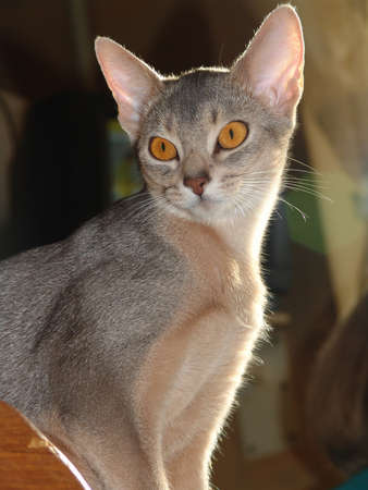 attentive: Young abyssinian cat looks at the subject