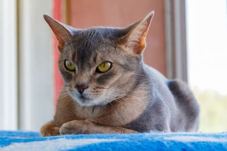 Abyssinian cat lying on a blue plaid Stock Photo