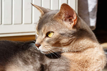 Abyssinian cat lies on the terrace in the sunlight closeup Stock Photo
