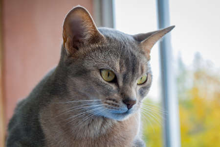 attentive: Abyssinian cat looking out the window closeup Stock Photo