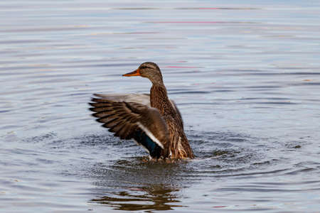 Wild duck splashing in the lake on a sunny autumn day