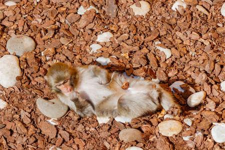 simian: Young monkey lies on a tree bark