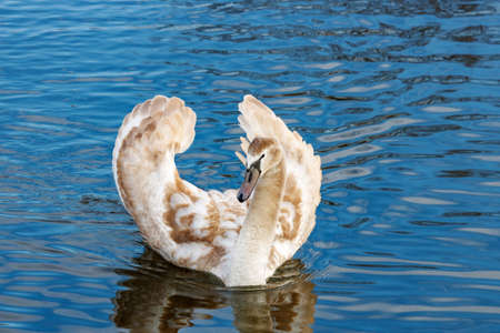 Young white swan floating on the water surface of the river Stock Photo