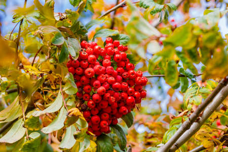 Bunch of ripe red mountain ash on a branch in an autumn sunny day