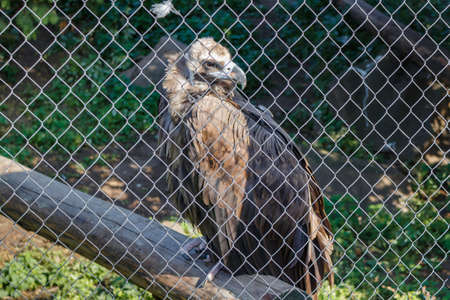 Large bird Griffon vulture (Gyps fulvus) in the cage Фото со стока