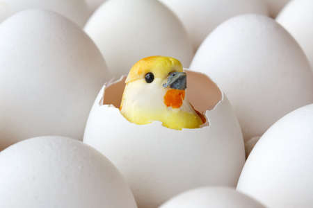 Yellow baby chick toy in empty egg shell among white eggs in cardboard tray closeup Stock Photo