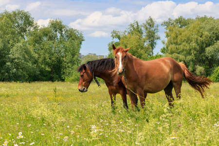 Brown horses stand in green grass of a meadow on a sunny summer day