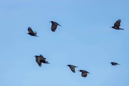 Corbeaux noirs volant contre le ciel bleu aux beaux jours