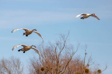 White swans take off against trees on a blue sky background