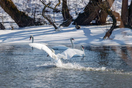 White swan landing on the water surface of river against snow covered coast