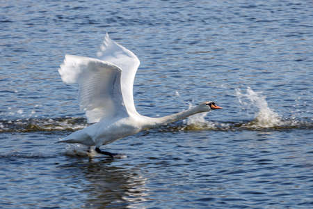 White swan take off from blue river surface at sunny day Banco de Imagens