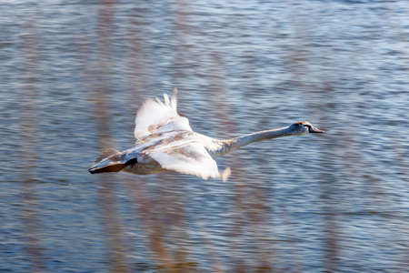 White swan flying above blue river surface against bush branches