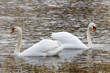 Two beautiful white swans swimming on the river surface
