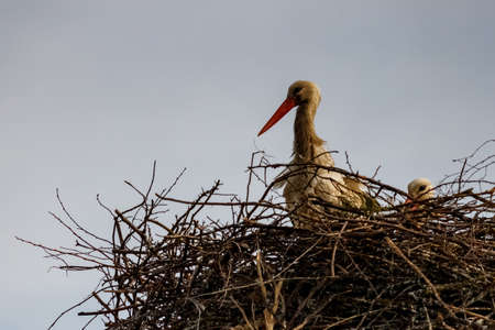 Storks in the nest in sunny spring evening against blue sky Banque d'images - 131337973