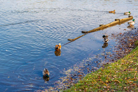 Wild ducks in water on the city pond in sunny autumn day. Autumn in public city park 写真素材