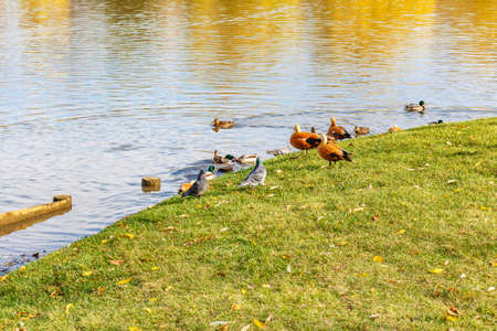Wild pigeons with ducks on the green lawn of pond shore. View of city park in sunny autumn day