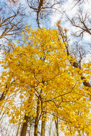 Maple tree with yellow leaves against blue sky with white clouds in sunny autumn day
