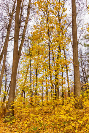 Trees with yellow leaves in the city park in autumn day. Autumn nature landscape