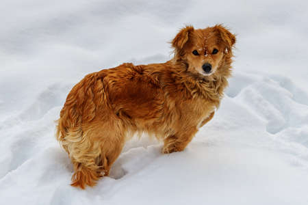 Ginger dog stands in deep snow on a winter day