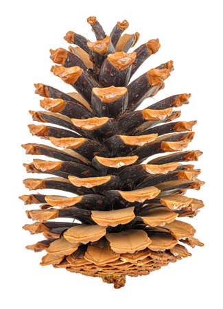 Large dry pine cone vertical standing close-up isolated on white background Banco de Imagens
