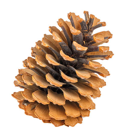 Dry ginger pine cone isolated on white background Imagens