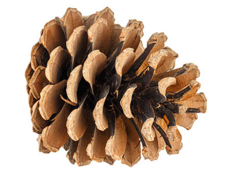 Lying dry brown pine cone isolated on white background Banco de Imagens