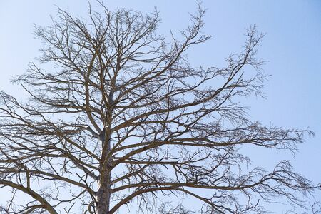 Dry bare branches of old tree against blue sky background. Stock photography.