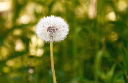Close up dandelion seeds in the morning sunlight across fresh green background. Stock photography. Stock Photo