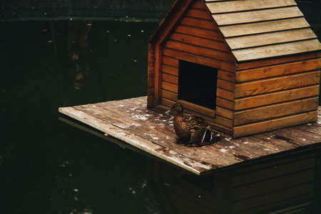 Mallard Duck with duckling under wing on nesting house floating on pond with copyspace.