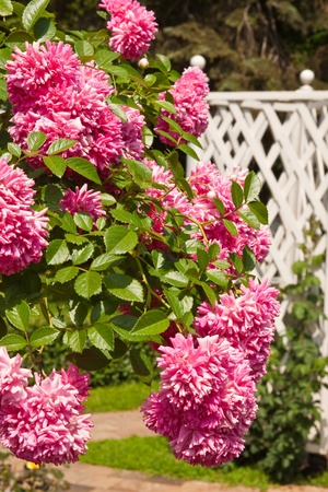在花園裡美麗的粉紅色玫瑰白柳條柵欄布什