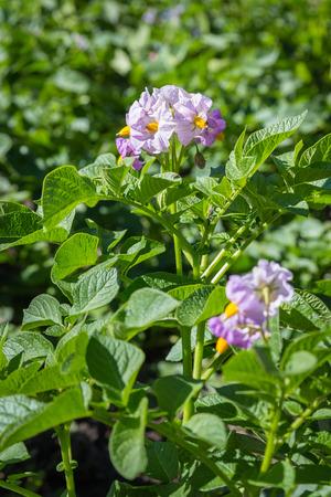 Violet flowers of potato plant closeup