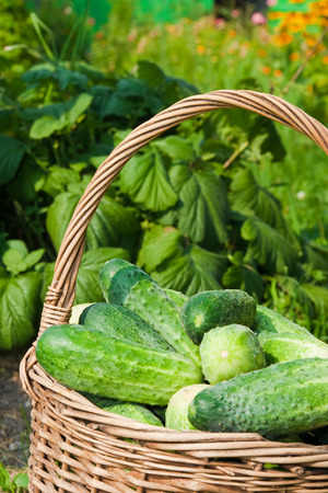 Harvest cucumbers in a basket on the grass